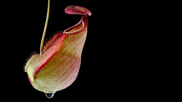 Close up, macro shot of tropical pitcher plants or monkey cups isolate on black background, nepenthes mirabilis