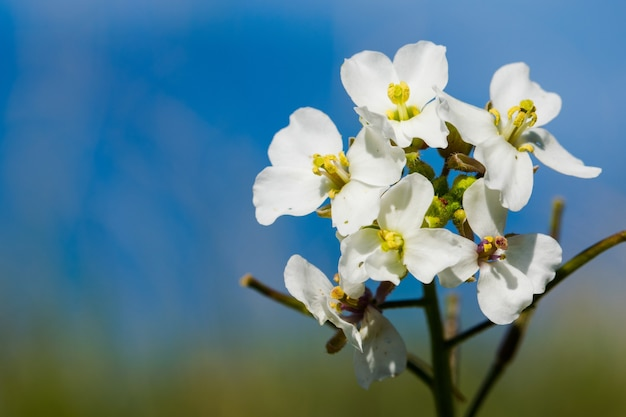 A close-up macro shot of white wall rocket plant with flowers in bloom in malta
