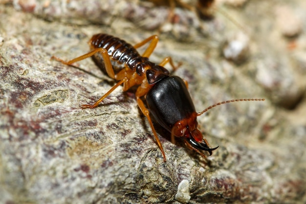 Close up macro soldier termite bug in nature