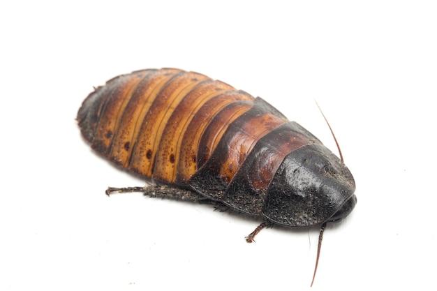 Close up madagascar hissing cockroach