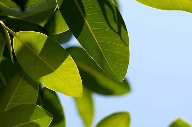 Крупным планом листья магнолии на голубом небе с пространством для текста