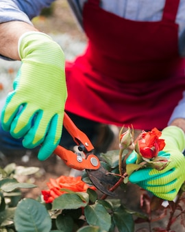 Close-up of male gardener cutting the rose with secateurs