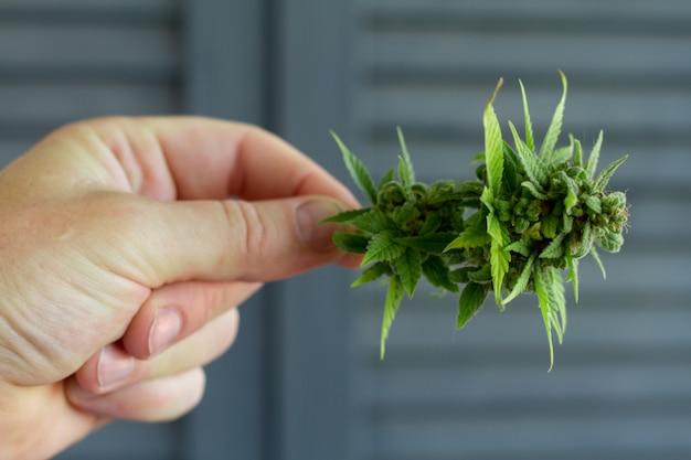 Close-up male hand holds bump cannabis plant. concept farm marijuana plantation. can of cannabis buds cbd.