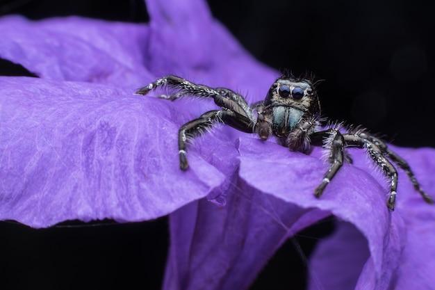 Close up male hyllus diardi or jumping spider on purple ruellia tuberosa
