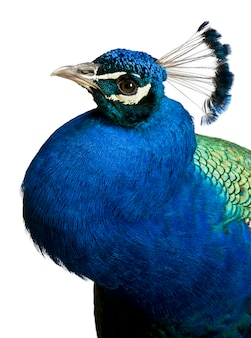 Close-up of male indian peafowl
