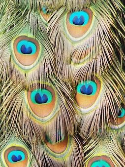 Close up male peacock colorful feather for pattern texture and background.