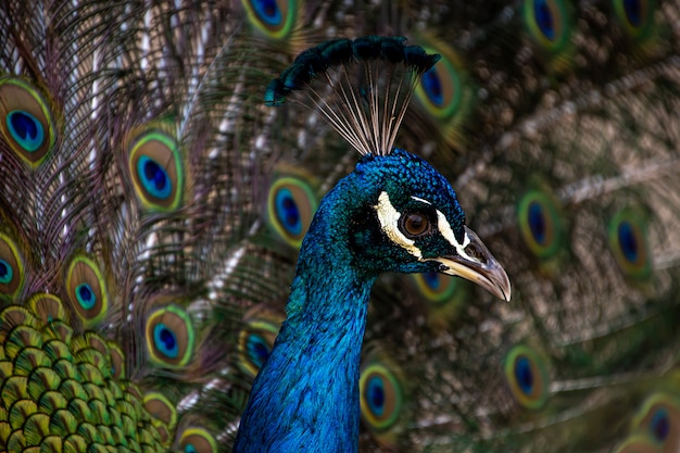 Close-up of a male peacock