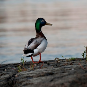 Close-up of a mallard duck (anas platyrhynchos), lake of the woods, ontario, canada