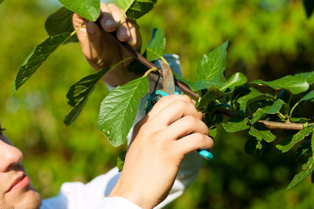 Close-up of man cutting fruit tree branch with trimmer