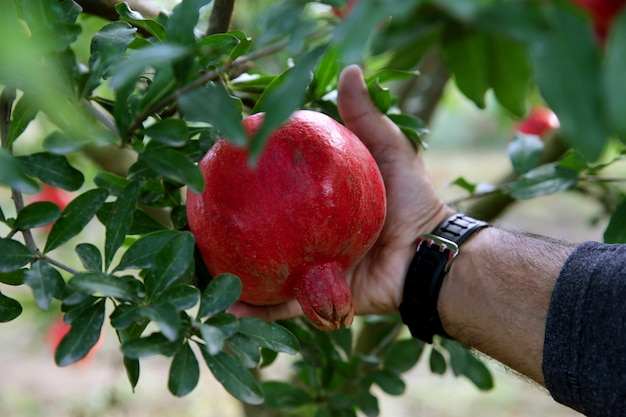 Close up of man tearing off pomegranate from tree