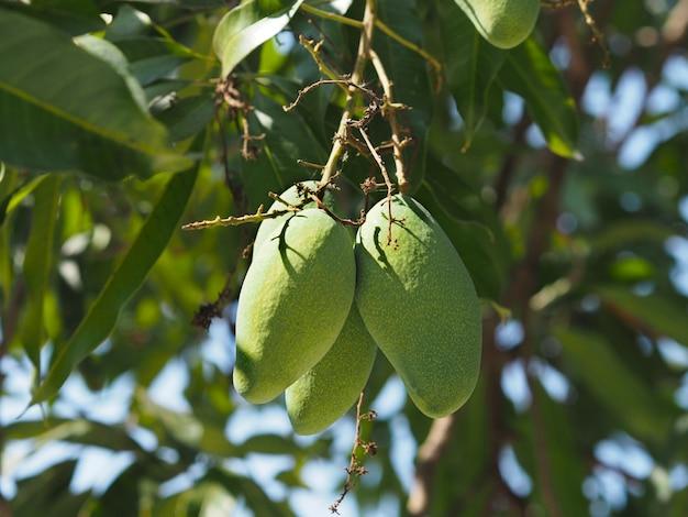 Close up mango fruits hanging on tree