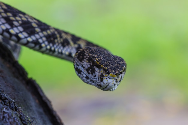 Close up of mangrove pitviper snake