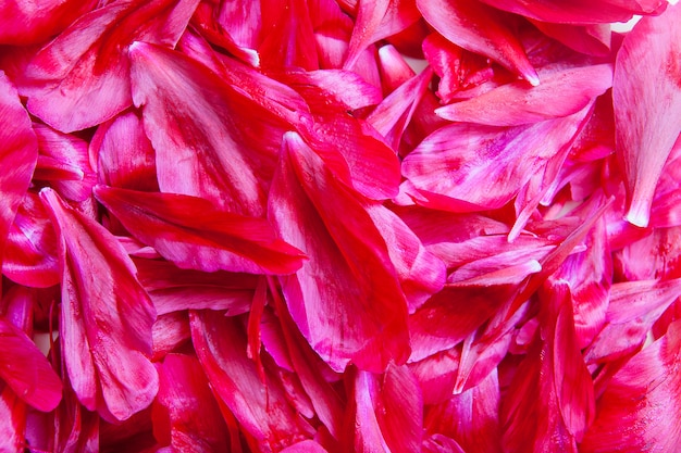 Close up many petals of burgundy peony. summer floral background