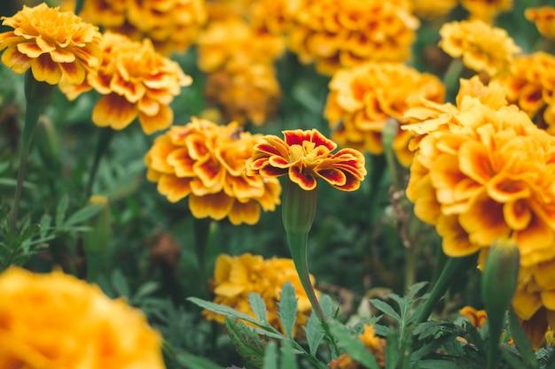 Крупным планом маргариты цветок в саду