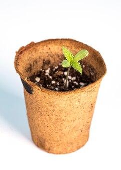 Закройте рассаду марихуаны в органическом горшке для рассады на белом
