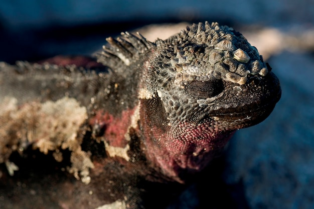 Close-up of a marine iguana (amblyrhynchus cristatus), punta suarez, espanola island, galapagos islands, ecuador