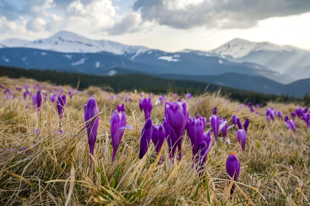 Close-up of marvelous blooming crocuses flowers in the carpathian mountains valley. blurred image of mighty mountains covered with forest in distance. beauty of nature concept.