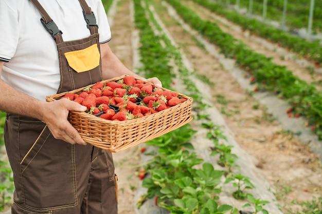 Primo piano di un contadino maturo in uniforme che tiene cesto con fragole appena raccolte mentre si sta in piedi sul campo di fattoria. serra all'aperto con fragole mature.