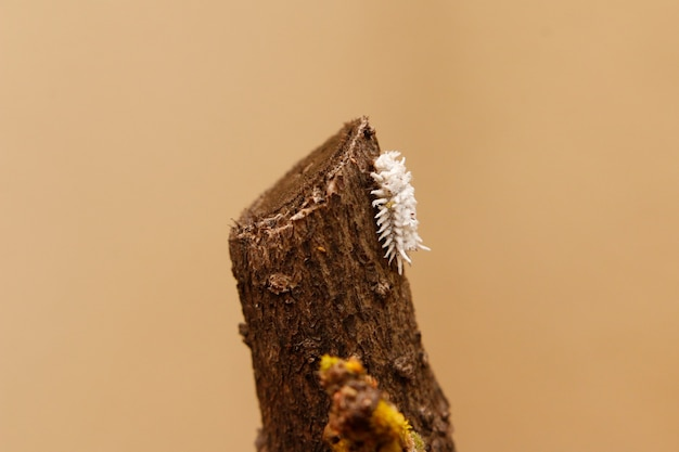 Close up of mealy bug on a branch of plant