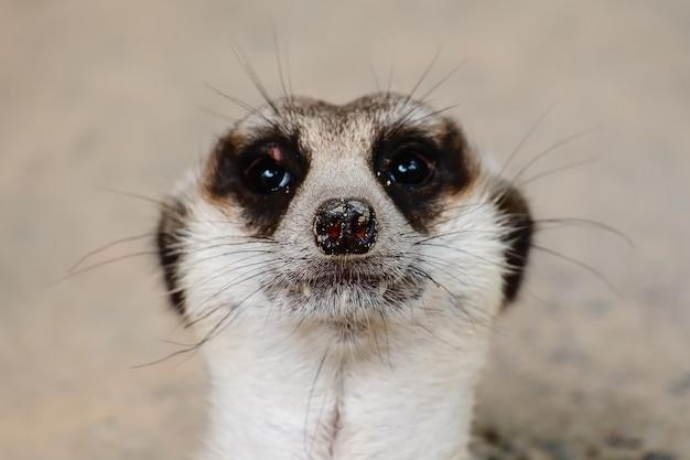 Close up of meerkat's face