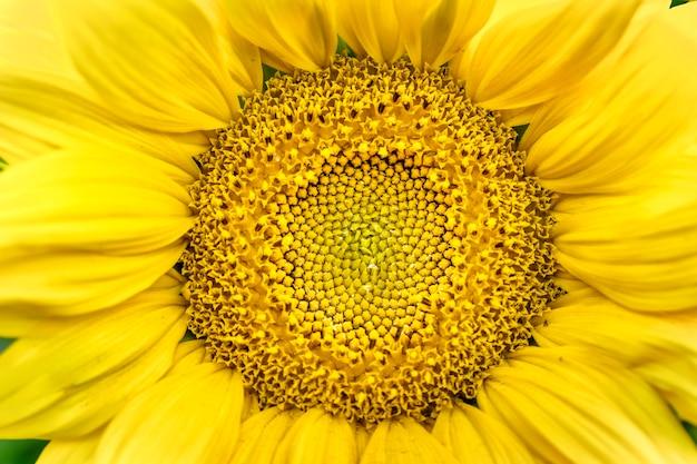 ひまわりの花の真ん中のクローズアップ