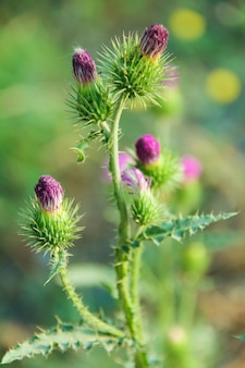 Close-up of milk thistle outdoors