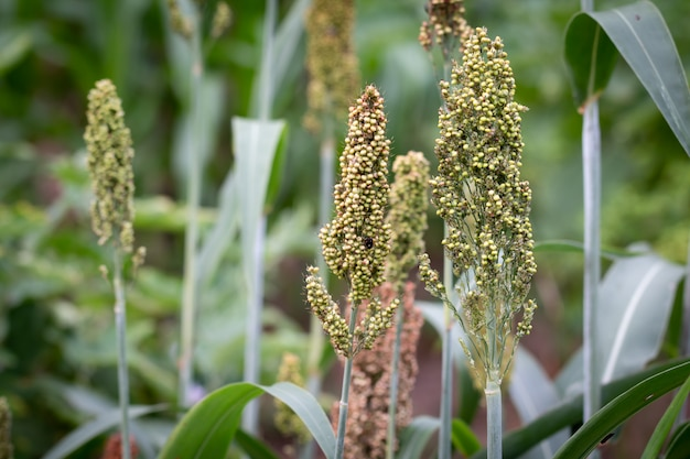 Close up millets standing in field