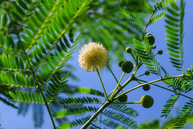 Close up mimosa flower branch