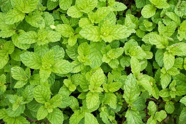 민트 잎 식물을 닫습니다 유기 채소밭에서 성장