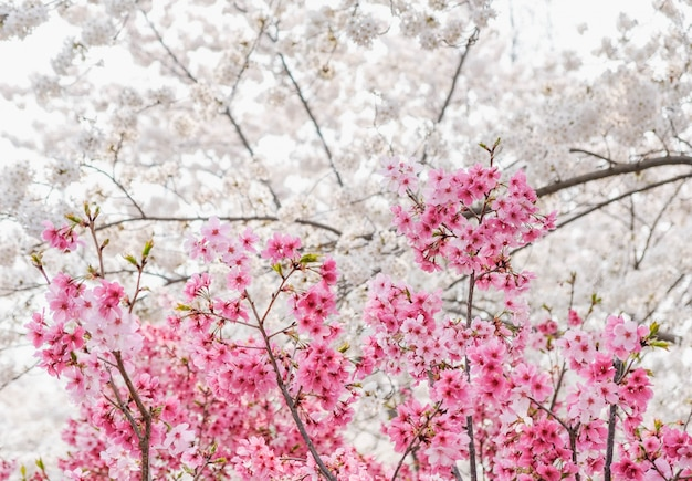 Close up mixing pink and white sakura flower blossom on tree in garden at spring seasonal