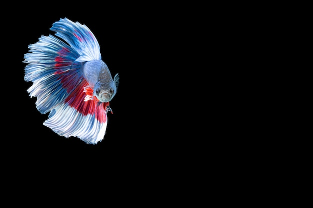 Close-up moment fish betta halfmoon blue red stripes