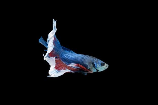 클로즈업 순간 물고기 betta 반달 파랑 빨강 줄무늬