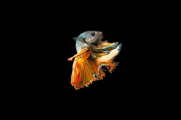 Close-up moment fish betta halfmoon yellow mixed gray