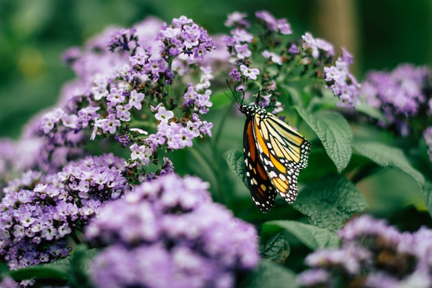 Close up of monarch butterfly on violet garden flowers