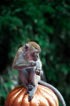 Close up monkey portrait at batu caves, kuala lumpur, malaysia