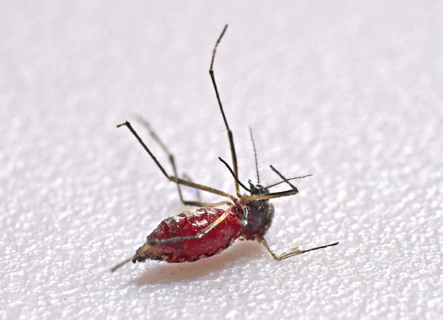 Close-up of mosquito sucking blood human