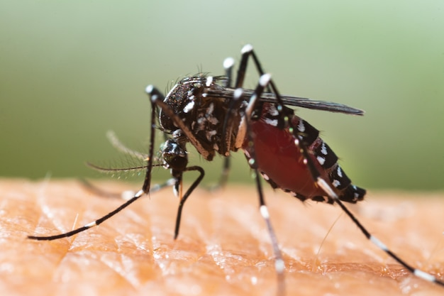 Close up of a mosquito sucking human blood