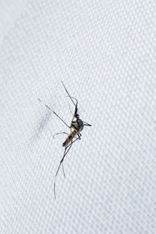 Close up of mosquito on white cloth
