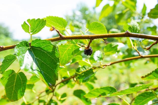 孤独なベリーとクローズアップ桑の木の枝