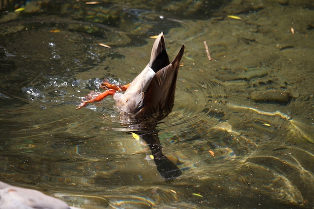Close-up of a multi-colored male duck, a drake swims and dives in the creek