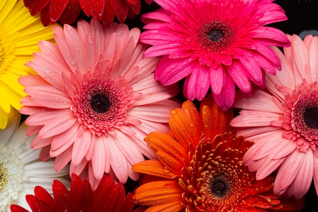 Close-up of multicoloured gerbera daisies