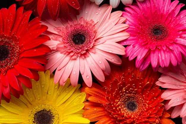 Close-up of multicoloured gerbera flowers