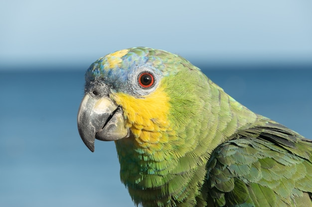 Close-up of a multicoloured parrot in front of the sea on playa blanca