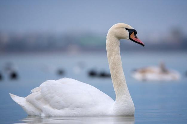 Close up on mute swan portrait cygnus olor