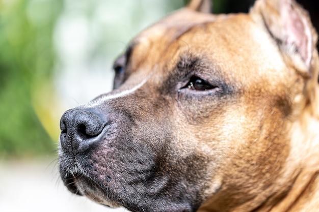 Primo piano del muso di un cane, labrador su uno sfondo chiaro sfocato.