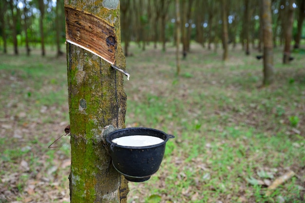 Close up natural rubber latex trapped from rubber tree, latex of rubber flows into a bowl