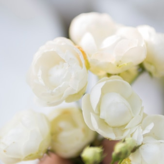 Close up of natural white roses