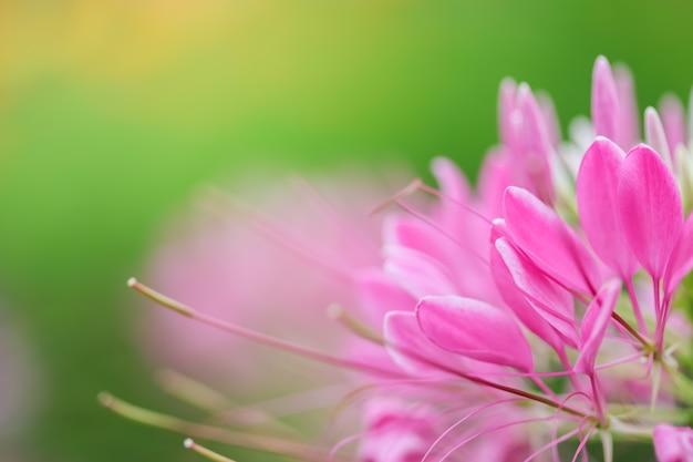 ボケ味を持つ日光の下でぼやけている緑の背景に美しいビューピンクの花を自然に閉じ、背景として自然の植物の風景、生態壁紙のコンセプトを使用してスペースをコピーします。
