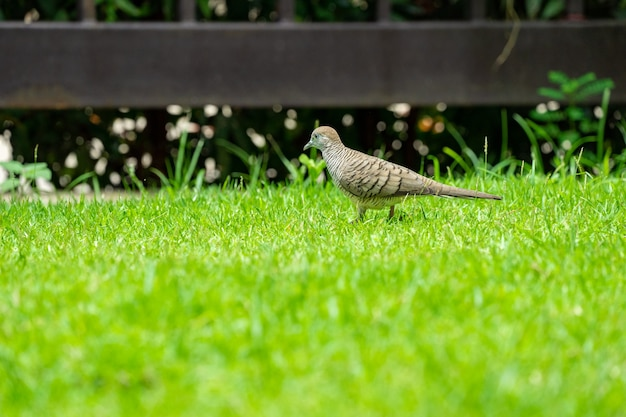 Close up the nature dove walks in the grass field in the morning day.