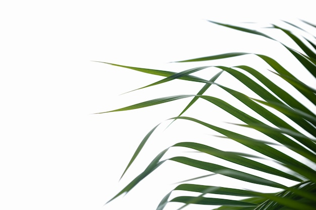 Close up of nature green palm leaf with blurred greenery on isolated white.